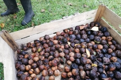 Ramassage des noix