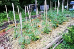 Les tomates de Chantal
