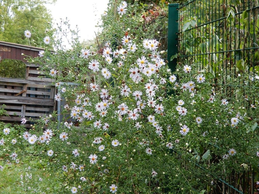Buisson d'asters