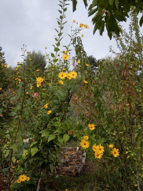 Fleurs de topinambours