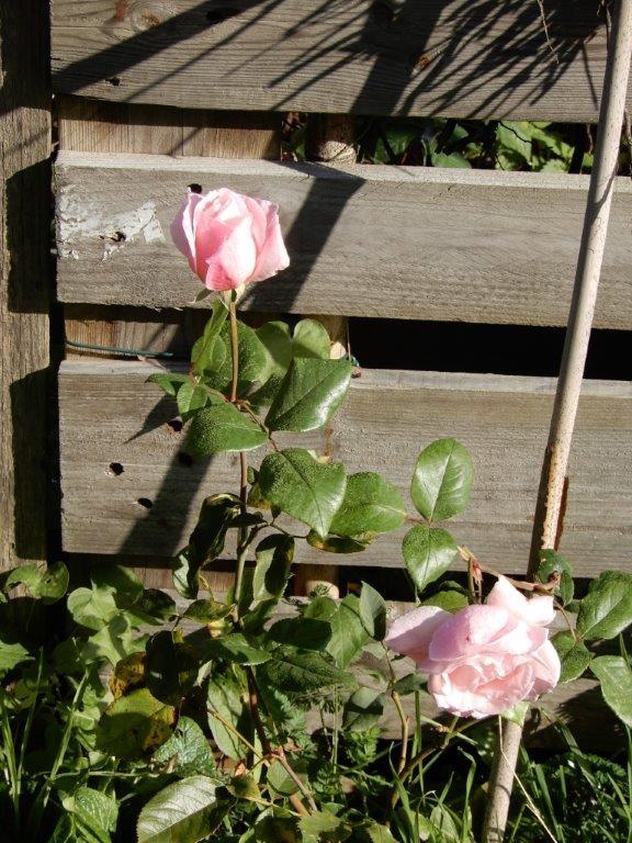 Bouture de rosier de Marc Genève