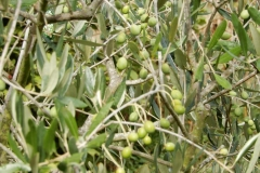 Récolte d'olives s'annonce prometteuse