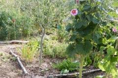 Olivier et roses trémières