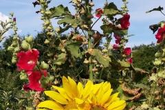 Tournesols et roses trémières