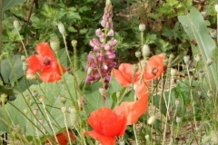 Duo coquelicot et lupin
