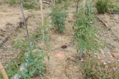 Pieds de tomates et pélargonium sauvage
