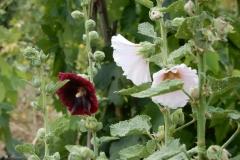 Jolies roses trémières