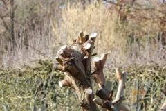 Saules taillés en têtard ou en trogne