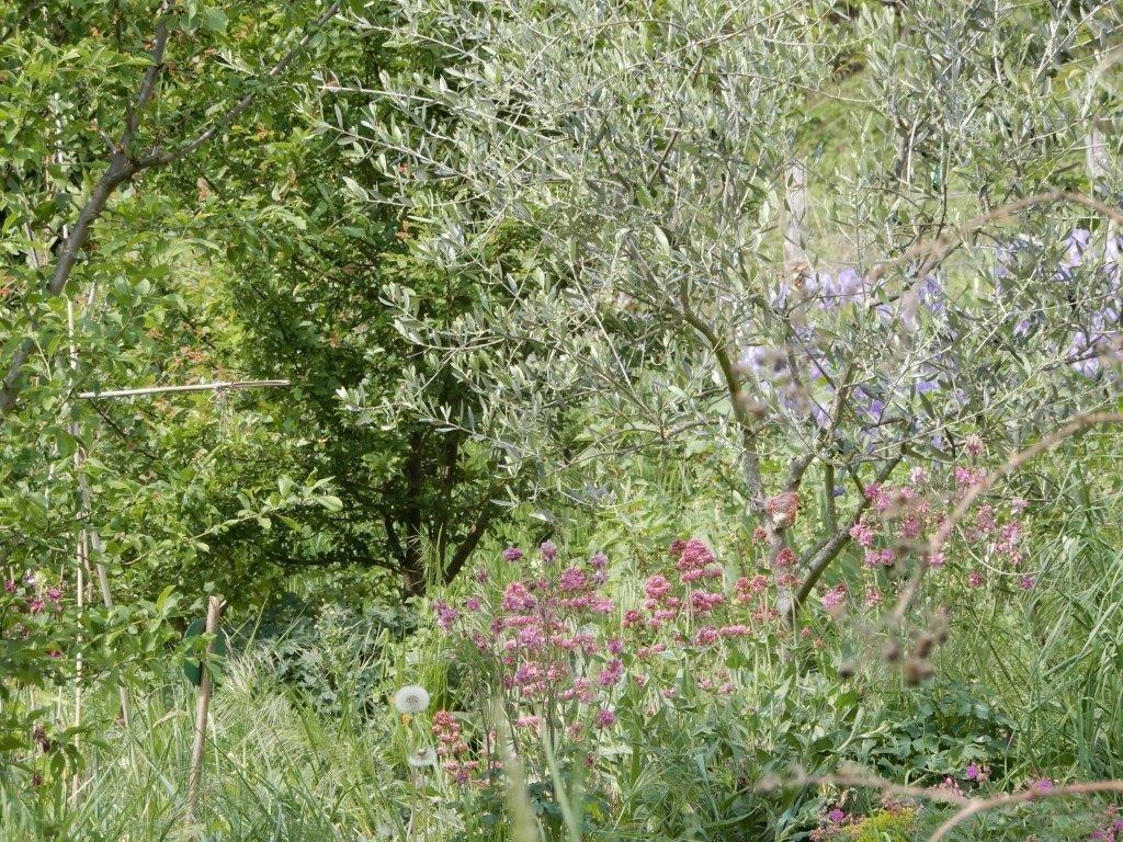 Valérianes au pied de l'olivier