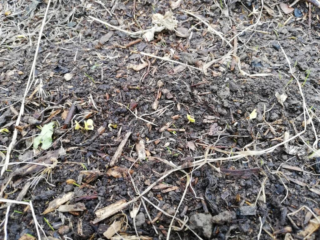 Les semis de radis commencent à sortir