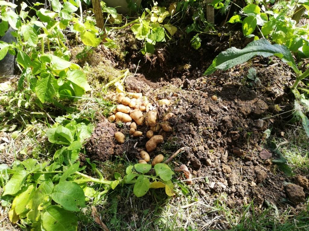 Les pommes de terre aromatisées