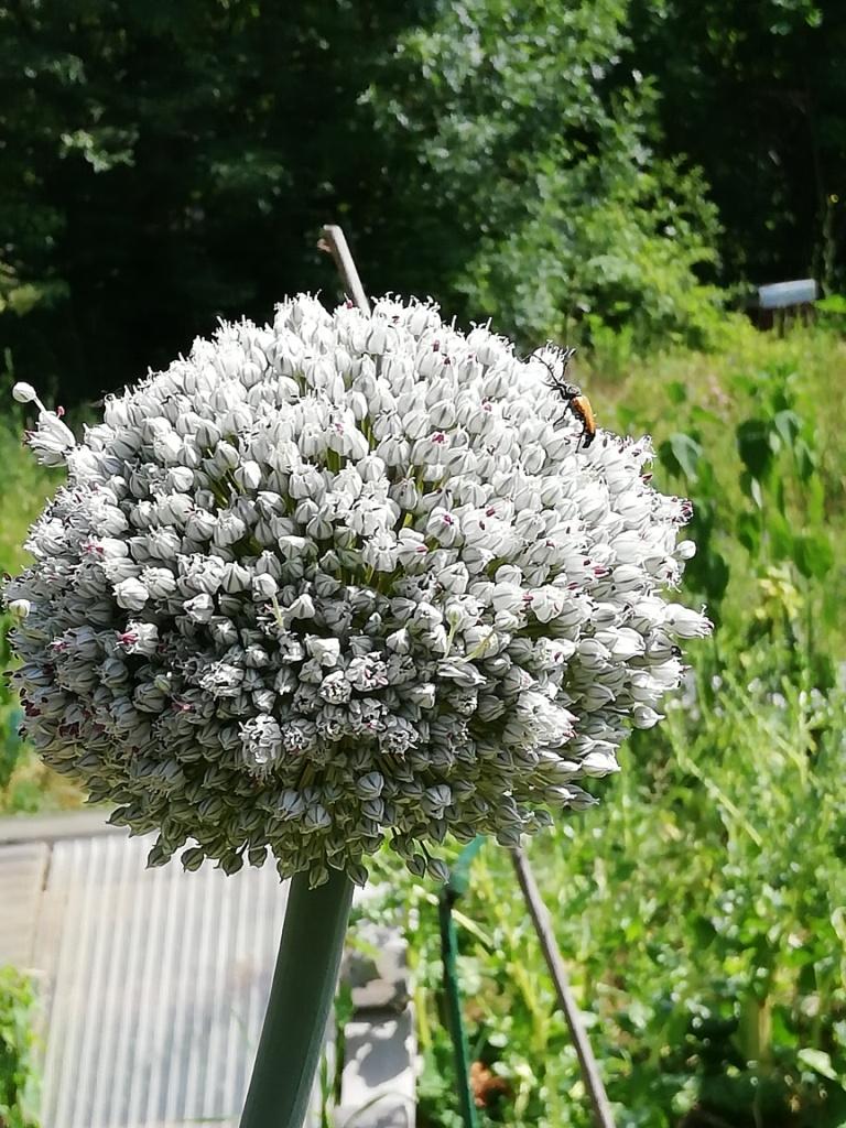 Une fleur d'ail
