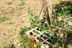 Les pieds de tomates entourés d'oeillets d'inde, de basilic et d'ail