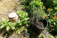Une olla entourée de radis noirs