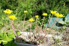 Petites cactées jaunes