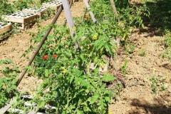 Les pieds de tomates